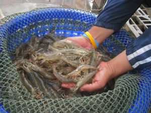 prawn farm Shrimp Farm Basics   Freshwater vs Saltwater Shrimp Farming